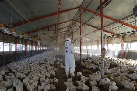 A worker wearing a protection suit cull chickens at a poultry farm where the bird flu virus had been found in Takanabe Town, Miyazaki prefecture January 31, 2011. REUTERS/Miyazaki prefectural government office/Handout