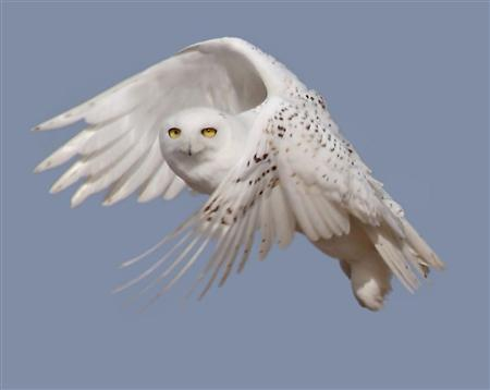 A snowy white owl takes flight in this undated handout photo courtesy of U.S. Fish & Wildlife Service. Bird enthusiasts are reporting rising numbers of snowy owls from the Arctic winging into the lower 48 states this winter in a mass southern migration that a leading owl researcher called ''unbelievable'' according to Denver Holt, head of Owl Research Institute in Montana.  REUTERS/U.S. Fish&Wildlife Service/Handout