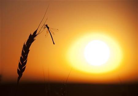 A dragonfly lands on a stalk of wheat ready for harvest during sunset on the Canadian prairies near Vulcan, Alberta, September 7, 2011. REUTERS/Todd Korol