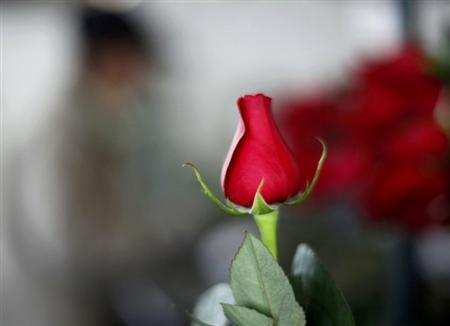 A rose is seen during preparations for the upcoming Valentine's Day, a farm in Cajica January 30, 2012.  REUTERS/John Vizcaino