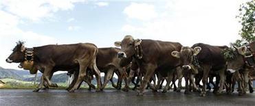 Коровы идут по дороге в Оберштауфене 9 сентября 2011 года. Россельхознадзор c 1 февраля временно запретил ввоз в Россию крупного рогатого скота и полученного от него генетического материала из Германии, Нидерландов, Бельгии, Франции, а также мелкого рогатого скота и полученного от него генетического материала из Франции, сообщило ведомство во вторник. REUTERS/Michaela Rehle