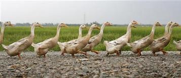 <p>Dans le Sud-Ouest de la France, la graisse de canard sert aussi de biocarburant pour les véhicules d'une coopérative agricole. /Photo d'archives/REUTERS/Kham</p>