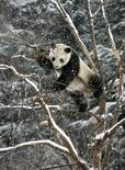 Большая панда по кличке Хуаао в зоопарке города Яньтай провинции Шаньдон 4 января 2012 года. С этой среды за жизнью китайских панд можно будет понаблюдать в интернете в режиме реального времени - одна из инициативных групп страны предложила соответствующий проект, призванный привлечь внимание к этим очаровательным животным, находящимся под угрозой исчезновения. REUTERS/China Daily