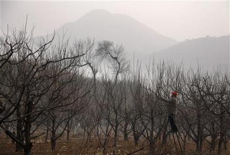 A farmer cuts firewood from trees in a field near the village of Xishaoqu, located on the outskirts of Beijing January 19, 2012. REUTERS/David Gray