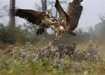 Vultures battle for a cow carcass as they feed at a vulture restaurant in Nawalparasi, southwest of Kathmandu February 2, 2012.  REUTERS/Navesh Chitrakar