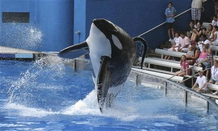 Tillikum, a killer whale at SeaWorld amusement park, performs during the show ''Believe'' in Orlando, in this September 3, 2009 file photo. REUTERS/Mathieu Belanger/Files