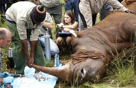A worker holds a rhino during a media demonstration at the Rhino and Lion Nature Reserve, in the Cradle of Humankind outside Johannesburg, February 9 2012. Rhino Rescue Project said the rhino later died after veterinarians administered a drug to wake him up after a micro chip and tracking device were implanted in his horn. REUTERS/Siphiwe Sibeko