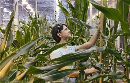 Stephanie Vermeulen measures the growth of a corn stalk in a Pioneer greenhouse in Johnston, Iowa February 9, 2012.  REUTERS/Brian C. Frank