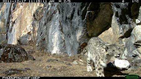 A snow leopard is captured in this remote camera in Wangchuck Centennial Park in Bhutan in this photograph released on February 14, 2012.REUTERS/World Wildlife Fund