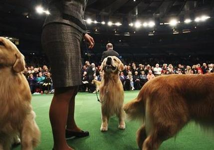A Golden Retriever stands during the ''Best in Breed'' category at the 136th Westminster Kennel Club Dog Show in New York's Madison Square Garden, February 14, 2012.  REUTERS/Shannon Stapleton