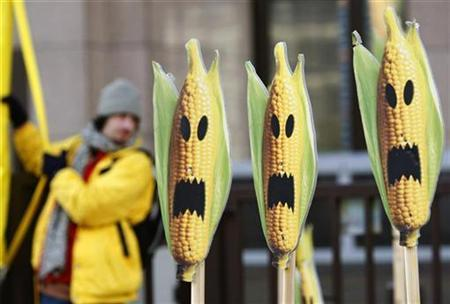 A Greenpeace activist displays and signs symbolising genetically modified maize crops during a protest in front of the European Union headquarters in Brussels November 24, 2008. REUTERS/Thierry Roge