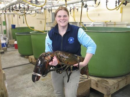 Maine State Aquarium Manager Aimee Hayden-Roderiques is pictured holding ''Rocky'', the 27-lb lobster donated by a shrimp dragger to the Aquarium in this handout photo obtained by Reuters February 23, 2012. REUTERS/Maine Department of Marine Resources/Handout