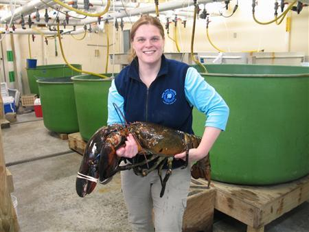 Maine State Aquarium Manager Aimee Hayden-Roderiques is pictured holding ''Rocky'', the 27-lb lobster donated by a shrimp dragger to the Aquarium. REUTERS/Maine Department of Marine Resources