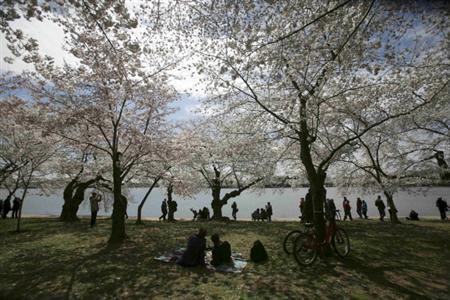 People view the Cherry Blossom trees near the Tidal Basin in Washington, in this file image from March 29, 2011. REUTERS/Molly Riley/Files