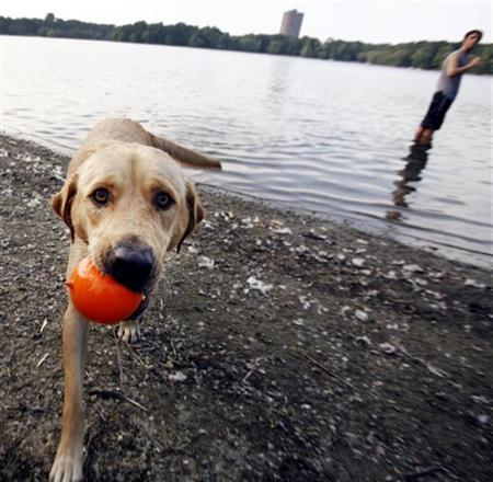 Labrador Retriever Sasha cools off near Jamaica Pond on a hot summer day in Boston, Massachusetts August 2, 2006. REUTERS/Brian Snyder