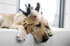 Пятилетняя Сабрина Фэрчайлд породы лабрадор-ретривер в Нью-Йорке, 15 января 2007 г. Лабрадор-ретривер был признан самой распространенной породой собак в США в 2011 году, популярность в минувшем году также набрали бигль и ротвейлер, говорится в ежегодном отчете американского клуба собаководства. REUTERS/Keith Bedford