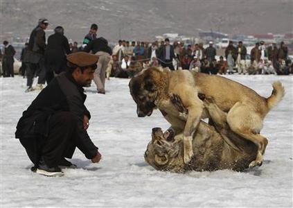 Dogs fight during a traditional dog fighting competition in Kabul March 2, 2012. REUTERS/Omar Sobhani