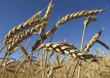 Колосья пшеницы растут на поле под Барнаулом, 22 сентября 2010 года. Россия начинает приватизацию Объединенной зерновой компании (ОЗК), объявив о продаже дополнительной эмиссии в размере 50 процентов минус 1 акция крупного зернотрейдера. REUTERS/Andrei Kasprishin