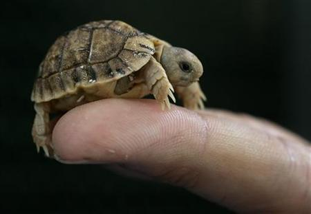 A worker from Rome's Biopark zoo holds a Testudo Kleinmanni hatchling, an endangered species also known as an Egyptian tortoise, in Rome May 22, 2007. REUTERS/Tony Gentile