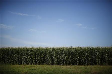 A field of corn near Monona, Iowa, August 16, 2011. REUTERS/Jason Reed