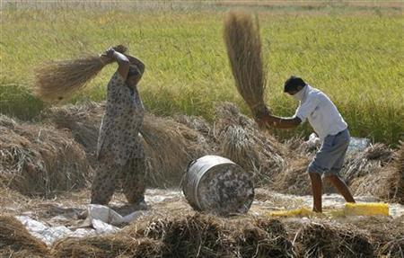 Workers thrash paddy crop at Motte Majra village in Punjab October 12, 2011. REUTERS/Ajay Verma/Files