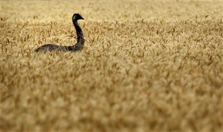 An emu makes its way through a wheat field on a farm near Chinchilla, about 250km (155 miles) west of Brisbane, October 28, 2011.REUTERS/Tim Wimborne