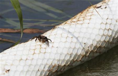 A crab, covered with oil, walks along an oil absorbent boom near roso-cane reeds at the South Pass of the Mississippi River in Plaquemines Parish, Louisiana, August 1, 2010. REUTERS/Patrick Semansky/Pool