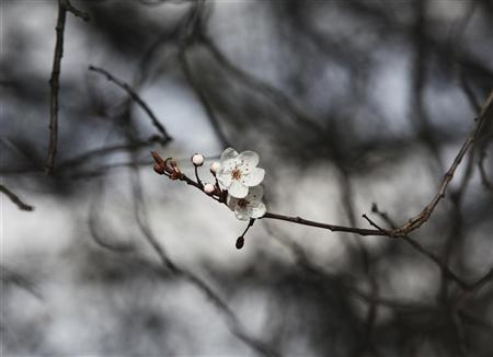 Blossom is seen in mild spring weather in Regents Park in London February 26, 2012. REUTERS/Olivia Harris