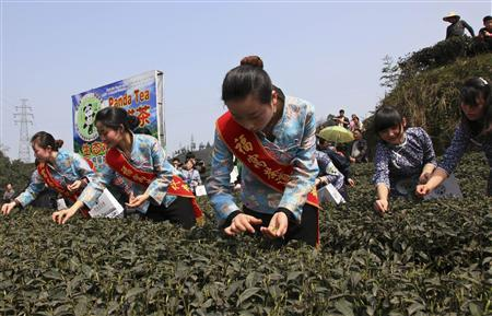 Employees collect tea leaves fertilised by panda droppings during a media event at a tea farm in Ya'an, Sichuan province March 17, 2012. REUTERS/Stringer