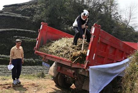 3月19日、中国四川省の雅安市で、起業家のAn Yanshiさんが、パンダのふんを肥料に使った茶葉を栽培している。写真はパンダの着ぐるみでトラックの荷台から肥料を下ろすAnさん(2012年 ロイター
