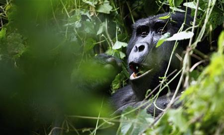A silverback mountain gorilla is seen during a census inside Bwindi Impenetrable National Park, about 550 km (341 miles) west of Uganda's capital Kampala, October 14, 2011. REUTERS/Edward Echwalu