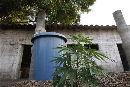 A marijuana plant and a plastic barrel sit outside a clandestine laboratory for drug processing in Zacoalco de Torres May 24, 2011. REUTERS/Alejandro Acosta