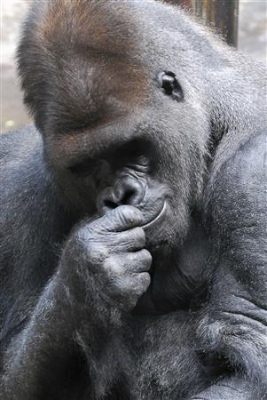 Koga, a 400-pound adult male gorilla, is seen in this undated handout photo from the Buffalo Zoo released on March 19, 2012. Koga escaped his cage at the Buffalo Zoo on Monday, biting a female zookeeper before being tranquilized and captured in what a SWAT team leader called, ''the scariest thing I've ever done.'' Zoo officials said Koga, a 24-year-old silverback gorilla, took advantage of an unlocked door in his living quarters around 11 a.m. and slipped into the space behind it, used by zoo personnel but closed to the public. REUTERS/The Buffalo Zoo/Handout