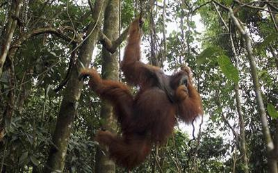 Orangutans in Indonesia's Aceh forest may die out in...