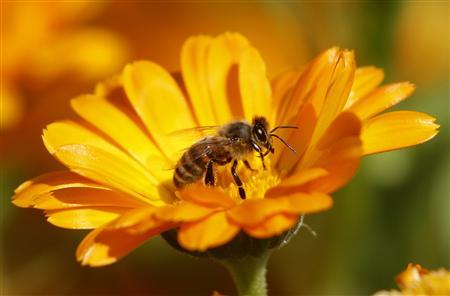 A bee is seen sitting on a Marigold flower in a field of a private plantation near the village of Pishchalovo, about 220 km (138 miles) east of Minsk in this July 18, 2011 file photogaph. REUTERS/Vasily Fedosenko/Files