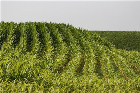 Rows of corn bend over a hill in Atalissa, Iowa July 9, 2011. REUTERS/Jessica Rinaldi