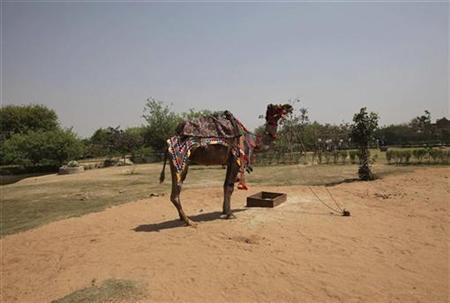 A decorated camel stands at a farm near the Jhajjar district in Haryana March 31, 2012. REUTERS/Adnan Abidi