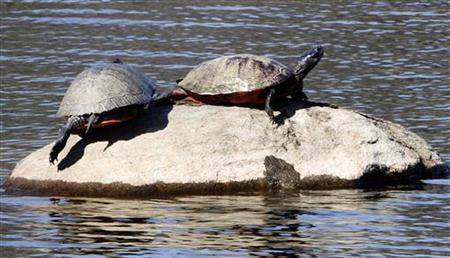 A pair of turtles sun themselves on a rock in a pond at Bellevue State Park near Wilmington, Delaware March 14, 2012. REUTERS/Tim Shaffer