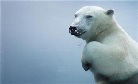 A polar bear swims underwater in the St-Felicien Wildlife Zoo in St-Felicien, Quebec October 31, 2011. REUTERS/Mathieu Belanger/Files