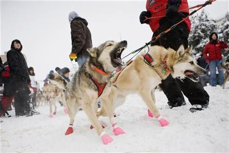 Dogs bark ahead of the ceremonial start of the 40th Iditarod Trail Sled Dog Race in downtown Anchorage March 3, 2012. REUTERS/Wayde Carroll