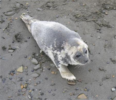 A diseased ringed seal in Alaska is shown in this handout photo released to Reuters October 13, 2011. REUTERS/North Slope Borough Department of Wildlife Management/Handout