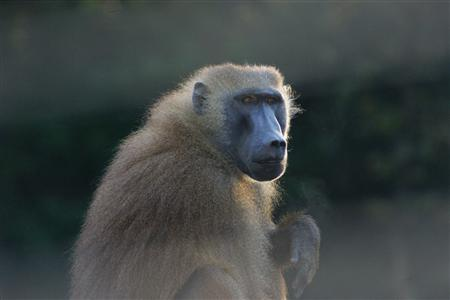 A baboon from the study by Dr. Grainger and colleagues is shown in this undated handout photo. Researchers report in the journal Science that they trained six Guinea baboons (Papio papio) to distinguish real, four-letter English words such as ''done'' and ''vast'' from non-words such as ''dran'' and ''lons.'' REUTERS/J. Fagot/Handout