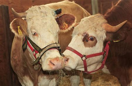 Cow Yvonne (R) and her son Frisi stand in their barn at Gut Aiderbichl in the eastern Bavarian town of Deggendorf September 2, 2011. REUTERS/Gut Aiderbichl/Benno Seilersdorfer