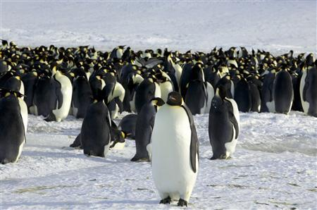 Emperor penguins are seen in Dumont d'Urville, Antarctica April 10, 2012. REUTERS/Martin Passingham