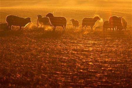Sheep graze during sunrise in northern Germany November 21, 2005. REUTERS/Christian Charisius