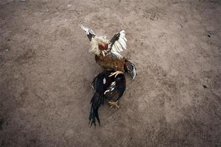 Roosters fight at a traditional cockfighting competition in Herat, Afghanistan December 18, 2009. REUTERS/Morteza Nikoubazl
