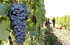 A bunch of grapes is seen during the harvest in Fabbri's vineyard in the Chiantishire in Tuscany, south of Florence, October 4, 2011. REUTERS/Giampiero Sposito