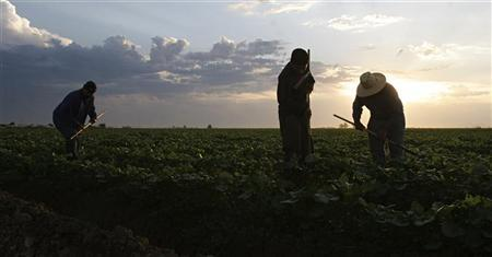 Migrant labourers weed a melon field during the early morning in Somerton, Arizona, June 7, 2006.