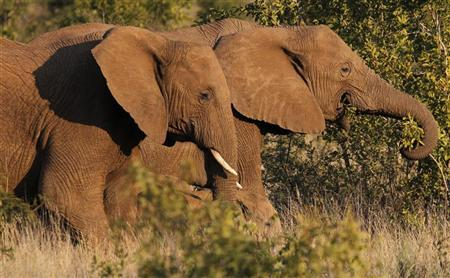 A pair of elephants walk through scrub in the dusk light in Pilanesberg National Park in South Africa's North West Province April 19, 2012.  REUTERS/Mike Hutchings