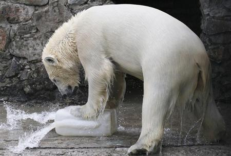 Aurora, a two-year-old female polar bear, plays with a plastic flask after the swimming pool was filled with water for the first time this spring at the Royev Ruchey Zoo in Russia's Siberian city of Krasnoyarsk April 16, 2012. REUTERS/Ilya Naymushin